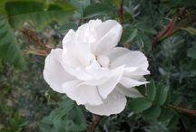 my roses / rose al podere