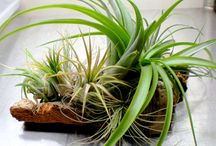 Air plants - fantastic display