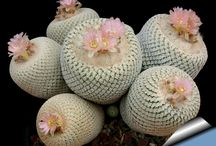 Succulents, Cactus