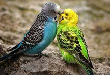 Budgie / Bird parakeet  / by M B