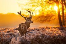 ANIMAL • Reindeer
