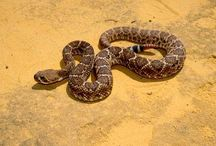 RATTLE SNAKES and other snakes / by Janet Wilczek