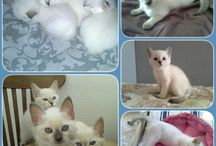 """Di Olisava"" / Cattery of Thai cats, my sweet one"