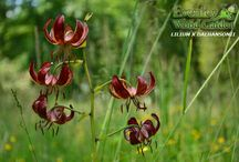 Lilies / An impressive collection of 120 lily species and hybrids that flowers mostly on June/July.