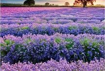 Lavender and cornflowers