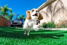 Toy and teacup puppies in California / If you're from California or San Diego and you are looking for a companion, come to Puppy Avenue breeder. Here you will find the puppy you are looking for.
