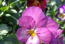 Les Pensées d'automne / A planter dès la fin de l'été, ces mignonnes agrémenteront vos massifs et bacs. Très résistantes au froid, elles fleuriront jusqu'au printemps prochain