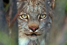 denali lynx maybe more