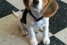 Κουτάβια beagle