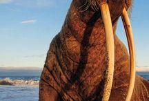 ΘΑΛΑΣΣΙΟΙ ΙΠΠΟΙ / Οι Θαλάσσιοι λέοντες είναι θαλάσσια θηλαστικά που χαρακτηρίζονται από πτερύγια αυτιών, μακριά εμπρόσθια πτερύγια, την ικανότητα να περπατάνε με τα τέσσερα, και κοντές, λεπτές τρίχες. Βικιπαίδεια.