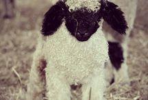 Valais sheep