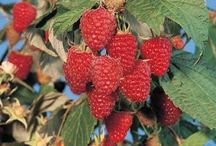 Milburn Orchards Raspberries / Another popular UPICK Adventure and so yummy!