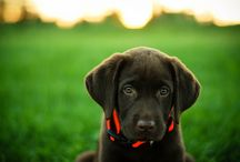 Black Labs / by Donna Kozar