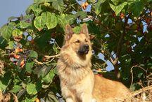 Garafiano shepherd