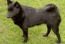 """PASTORES-Schipperke / Los schipperke (""""pequeño capitán"""") son descendientes del Leauvenaar, el cual también dio origen al pastor belga. Son perros pequeños, rechonchos y rabones con un pelaje denso y cabeza zorruna, miden de 31 a 33 cm y pesan hasta 8 kg. Tienen una alegre e inquisitiva expresión siendo generalmente resistentes y enérgicos, hábiles cazadores y buenos perros guardianes."""