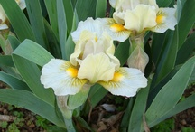 Irises I Grow / by Belinda Marlatt