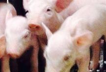 Het Spekrijt!! Walsbergse varkens / Genieten van de zeugen en hun biggen. Een blik op de dagelijkse gebeurtenissen.