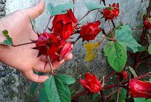 How To Lower Blood Pressure Using Hibiscus Plant (rosella, roselle, Hibiscus sabdariffa)
