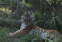 Silly Big Cats / Big cats doing silly things.