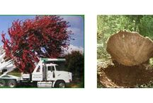 Large Tree Moving / While the majority of situations do not call for an extremely large tree to be planted, some do.  That is why Hilltown Tree & Garden works in conjunction with large tree movers across New England. Jim hand selects every specimen then supervise every dig, transport and planting of the tree(s).  For the client who does not want to wait years for a tree to reach 30' in height and spread the option of purchasing one of that size is there.