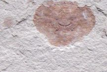 Fossil from the oligocene / Liocarcinus