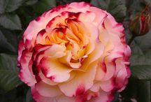Мой розовый сад. / Мир, в котором я живу.