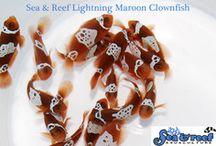 Clownfish / Clownfish and other beautiful Nemo Fish Available At Aqua Dreams Aquarium. #clownfish #nemo #findingnemo