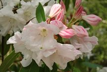 Growing Rhododendron / Tips for growing Rhododendron in your garden.