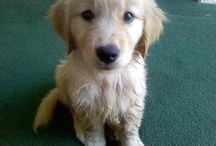 Golden Retriever Obsession / by Brooke Taylor