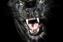 Jaguár és fekete párduc