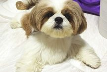 Shih Tzu / Shih Tzu's are adorable