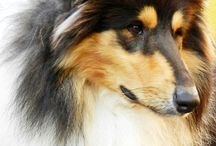 Sangtrait Guizmo / Rough Collie Black Collectión Cádiz