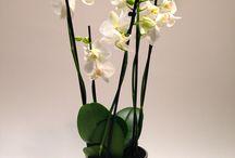 Orkidéer / Orkidéer fra ww.happyflower.dk