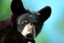 Tapety - zwierzęta - niedźwiedzie - amerykańskie