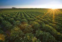 Potato Fields / Potato Fields