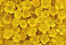 Sunshine, Daisies, Butter Mellow... / sunshine, daisies, butter mellow, turn this stupid fat rat yellow!