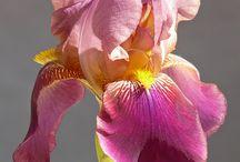 íriszek / irises