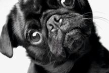 Pug noir