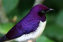 Nature / Purple starling  / by Olga Vazquez Hicks
