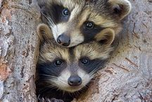 Inspirations Racoon