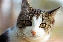 Domestician Cat