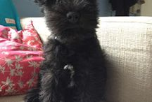 I love schnauzers / I have the schnauzer in the pic