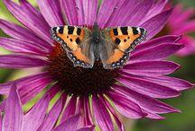 Lepidoptera (Butterflies and Moths) (Farfalle e Falene)
