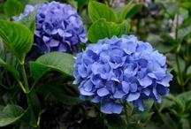 Flower - Hydrangea