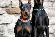 Doberman Pinscher Dog Breeds / Doberman pinscher will always be eager to learn new things and hence, training this pet will surely be a wonderful thing to do. This dog is sensitive and hence, it is advised that you do not scold it even if it makes a mistake. Firm voice will surely prove to be effective.