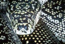 carpet pythons (morelia spilota)