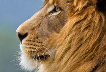 k i n g  / // roar //  / by Dani Abbott