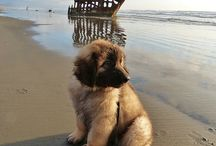 Leonberger / Beautiful dogs.
