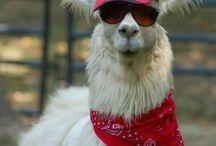 Llama Love! / by Christine Donovan
