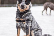 Herding Dogs  / A board for herding dog lovers.